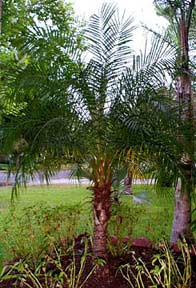 Pygmy date palm growth rate