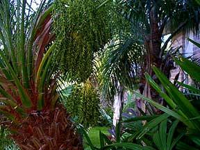 Summer cc 2001 24 garden views palms mexican weeping bamboo cactus for Bamboo garden corpus christi menu