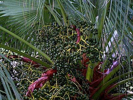chinese fan palm fruit - photo #17